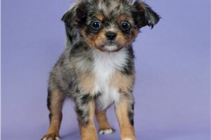 Dazzle - Chihuahua for sale
