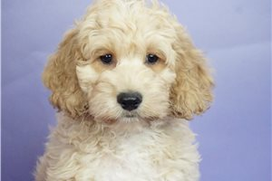 Peter - Cockapoo for sale