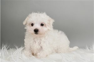 baby - Maltese for sale