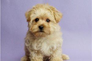 Buddy - Morkie / Yorktese for sale