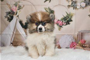 Pomeranians for sale