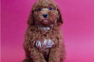 Miniature Poodles for sale