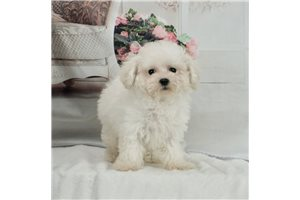 Picture of AKC Strawberry
