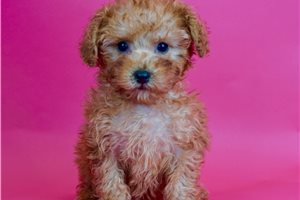 Toy Poodles for sale