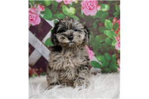 Schnoodles for sale