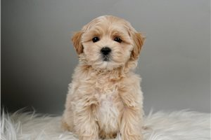 Levi - Shih-Poo - Shihpoo for sale