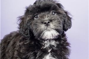 sisco - Shih-Poo - Shihpoo for sale