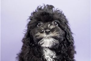 Bootsie - Shih-Poo - Shihpoo for sale