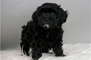 Bella - Shih-Poo - Shihpoo for sale