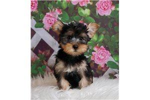 Yorkshire Terriers - Yorkies for sale