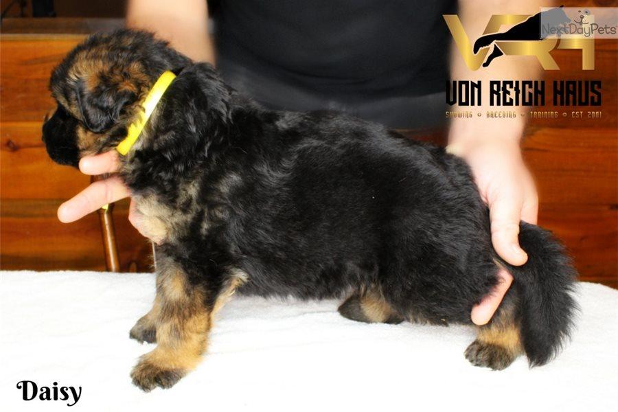 Rose: German Shepherd puppy for sale Near Me In Spain