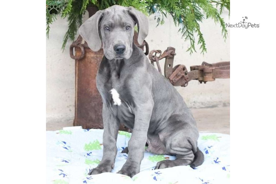 Accolades and breeding experience for your Great Dane breeder