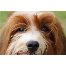 View full profile for Havana Rouge Havanese