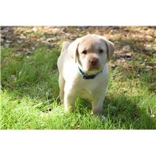 View full profile for Miller Family Labradors