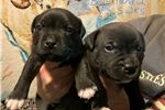 Picture of Brindle litter