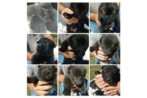 Wolf Hybrids for sale