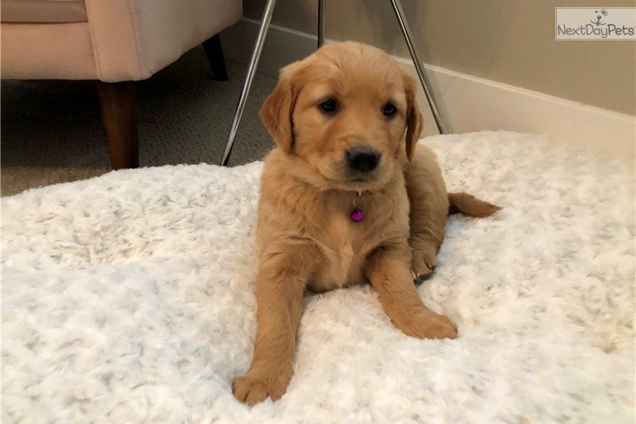 Missy: Golden Retriever puppy for sale near Boise, Idaho