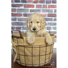 View full profile for Chicago Goldendoodles