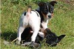 Rat Terrier for sale