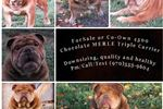 Picture of AKC Chocolate Merle triple carrier English Bulldog
