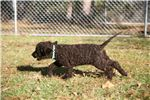 Picture of AKC Registered PureBreed Irish Water Spaniel Puppy