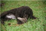 Picture of an Irish Water Spaniel Puppy