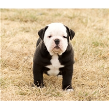 View full profile for Olde English Bulldogges