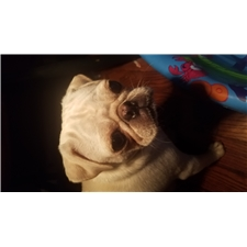 View full profile for Scbeard Pugs