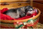Picture of Alaskan malamute puppies