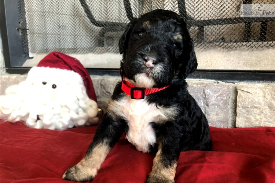Bernedoodle Puppy For Sale Near Southwest Michigan Michigan