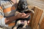Picture of Pure Bred German Shepard Female Puppy
