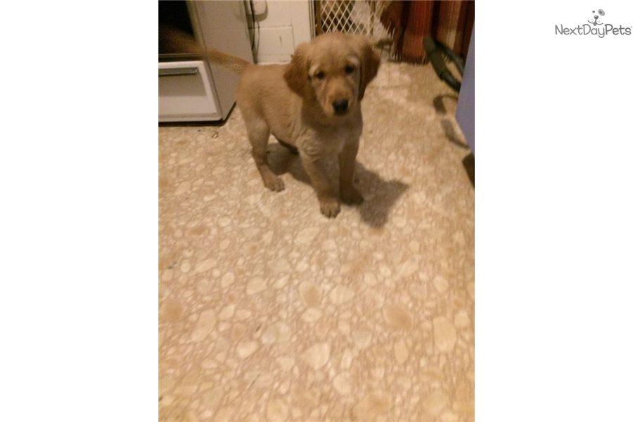 Female: Golden Retriever puppy for sale near Detroit Metro ...