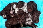 Picture of World Champion Lagotto Romagnolo Puppy For Sale
