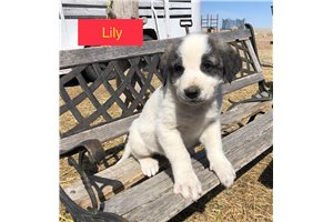 Lily | Puppy at 6 weeks of age for sale