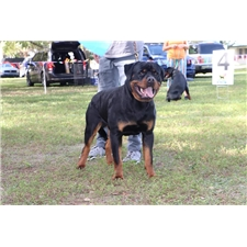 View full profile for Backwoods Boy's Rottweilers
