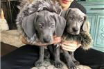 Picture of Naperville Blue Weimaraner