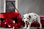 Picture of Male Dalmatian Puppy