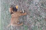 Bullmastiff for sale