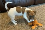 """Picture of """"Sugar"""" AKC Russell Terrier Smooth Coat Female"""