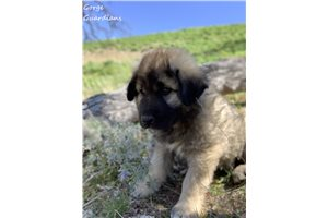 Picture of a Sarplaninac Puppy