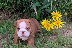 Krissy - English Bulldog for sale