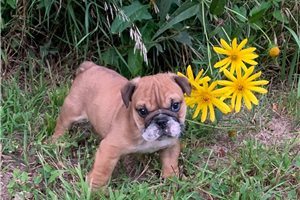 Theo - English Bulldog for sale