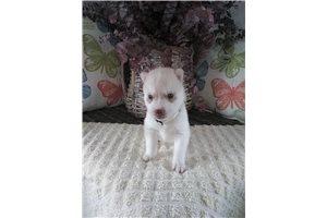 Cotton - Siberian Husky for sale