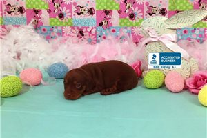 Dachshund Mini Puppies For Sale From Southeast Missouri Missouri