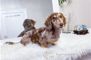Picture of AKC Cookie