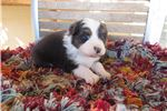 Picture of Beautiful AKC/ASCA  Australian Shepherd Puppy