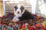 Picture of Australian Shepherd Puppy AKC/ASCA