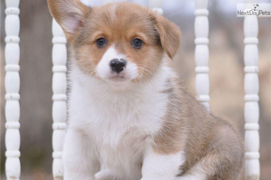 Dm Carrier-Vwd Clear: Corgi puppy for sale near In Queensland Australia