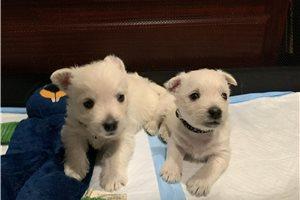 Picture of Westie Pups