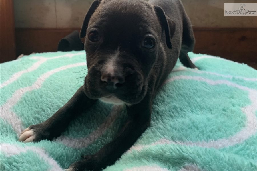 Knight: American Staffordshire Terrier puppy for sale near ...